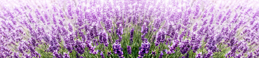 Panel Szklany Lawenda Purple Lavender in flower field wide panoramic view
