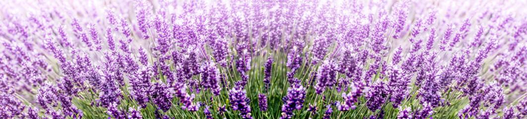 Fototapeta Lawenda Purple Lavender in flower field wide panoramic view