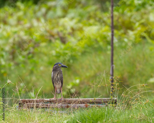 Photo Rufous night-heron in a shrimp fishpond looking for food