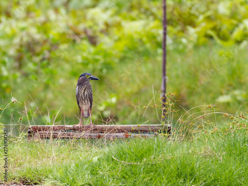 Rufous night-heron in a shrimp fishpond looking for food Wallpaper Mural