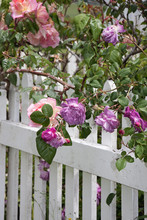 Flower Roses On A Fence Purple Pink