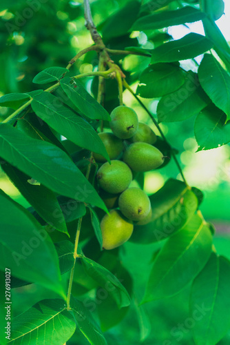 green leaves of a black walnut tree with nuts