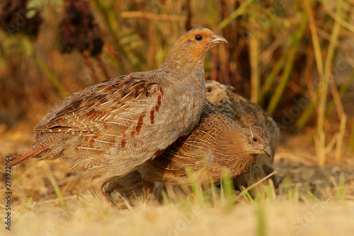 pheasant bird in the grass Fototapeta