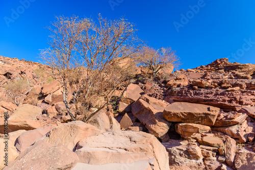 Slika na platnu Tree growing on the side of a hill made from large, flat boulders, Kalahari Dese