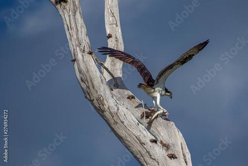 Osprey with Fresh Fish Catch, Fort DeSoto Park, Florida