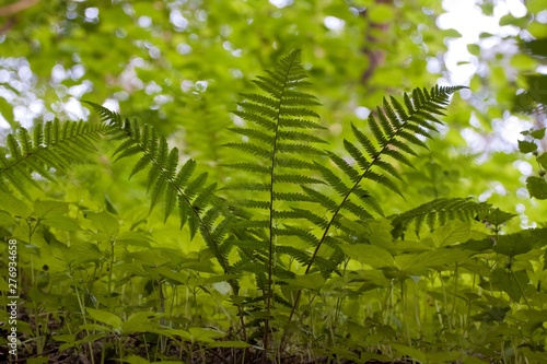 Fotografie, Obraz  Beautiful young and fresh bush of fern on tender natural forest foliage blurred
