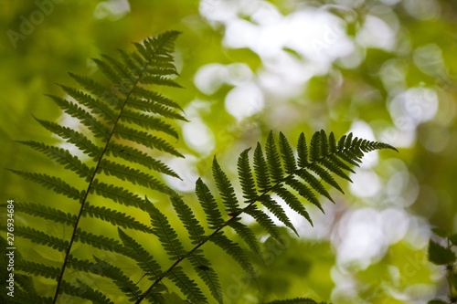 Obraz na plátně  silhouettes of dark green fern leaves on tender natural forest foliage blurred b