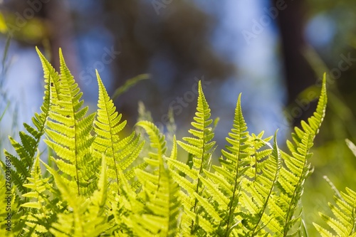 Obraz na plátně  light green young and fresh fronds of fern on colourful natural forest and sky b