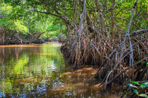 Manglar o mangle es un ecosistema con árboles muy tolerantes a las sales existen Slika na platnu