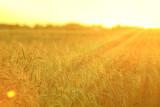 Złote łany zboża w promieniach zachodzącego słońca, latem.