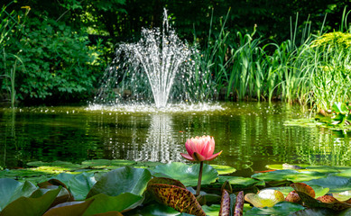 Fototapeta Ogrody Beautiful garden pond with amazing pink water lilies or lotus flowers Perry's Orange Sunset. Nymphaea are bloom among leaves on blurred fountain background. Selective focus on Nymphaea