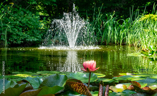 Poster de jardin Nénuphars Beautiful garden pond with amazing pink water lilies or lotus flowers Perry's Orange Sunset. Nymphaea are bloom among leaves on blurred fountain background. Selective focus on Nymphaea