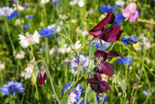 Burgundy Red Colored Sweet Pea (Lathyrus Odoratus) In A Field Of Wildflowers