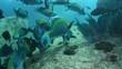 School of Greenthroat Parrotfish, Scarus prasiognathus in Andaman sea