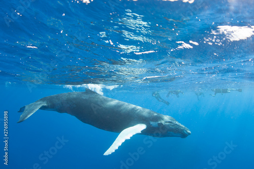Foto op Plexiglas Panoramafoto s A Humpback whale, Megaptera novaeangliae, swims in the blue, sunlit waters of the Caribbean Sea. The Atlantic Humpback population migrates to the Caribbean to breed and give birth.