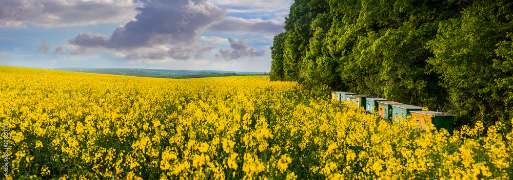 Fototapety, obrazy: A panoramic view of a yellow field of rape and bee hives