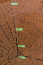 Cross Section Of Bicentennial Oak (Quercus Sp.) Trunk With Annual Rings From 1800, Muhlacker, Baden-Wurttemberg, Germany, Europe