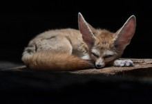 Fennec Fox Or Fennec (Vulpes Zerda), Captive, Baden-W¸rttemberg, Germany, Europe