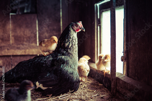 Fotografia, Obraz hen with small chicken