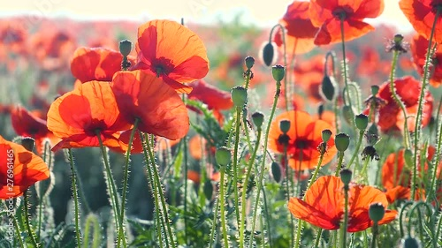 Summer poppy flowers on green field - 276961465
