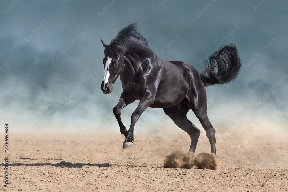 Fototapety, obrazy: Horse free run gallop in sandy dust
