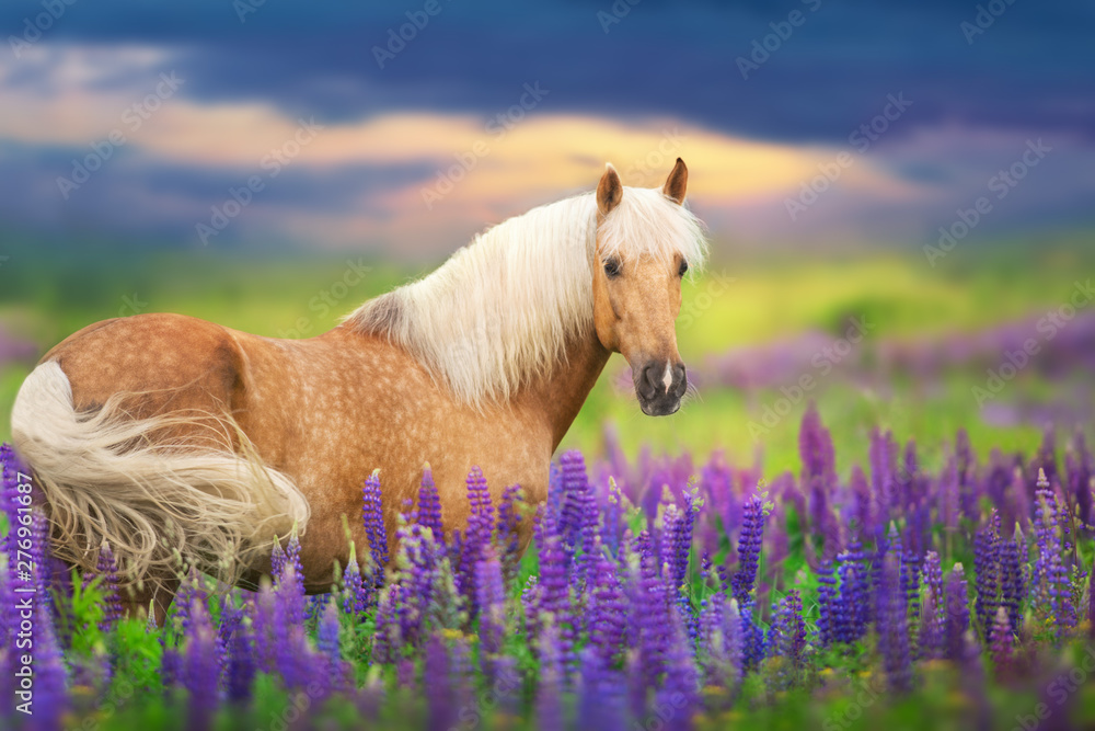 Fototapety, obrazy: Palomino horse with long mane in lupine flowers at sunset