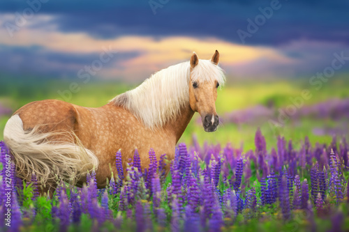 In de dag Paarden Palomino horse with long mane in lupine flowers at sunset