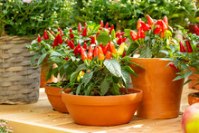 Small Red Jalapeno Peppers Grow In Clay Pots. A Group Of Hot Peppers At The Harvest Festival. Ripe Red Hot Chili Jalapenos On A Branch Of A Bush Vegetables