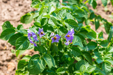Growing Potato Bush In The Garden, Green Leaves And Purple Flowers