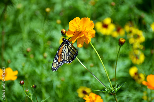 Close-up of Butterfly on an Orange Wildflower