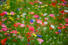 Natural Background Made Of Bright, Colorful, Vibrant Selections Of Wildflowers On A Spring Meadow In British Columbia, Canada