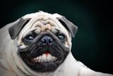 Fototapeta Zwierzęta - Pug unique smile