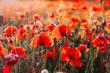 Blooming poppy field (Papaver Rhoeas) in Chisinau, Moldova