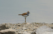 Killdeer Bird Or Charadrius Vociferus Wading In Shallow Water At Rocky Lake Edge With Reflection Of Legs