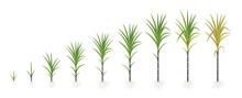 Crop Stages Of Sugarcane. Growing Sugar Cane Plant. Dark Black Stalk. Vector Illustration Progression.