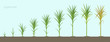 Crop stages of Sugarcane. Growing sugar cane plant used for sugar production. Vector Illustration.