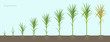 Crop stages of Sugarcane. Growing sugar cane plant used for sugar production. Vector Illustration animation progression with roots in the soil.