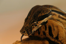 Python Snake Head In Close Up