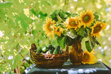 Beautiful Yellow Sunflowers In A Vase And Picked Cucumbers On The Table