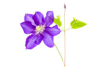 Purple Clematis Flower Isolate...