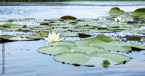 Deurstickers Waterlelies field of white water lilies on the lake