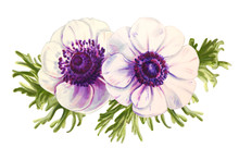 Two Beautiful White Anemonies. Bouquet Of Flowers. Floral Print. Marker Drawing. Watercolor Painting. Wedding And Birthday Composition. Greeting Card. Flower Painted Background Hand Drawn Illustration