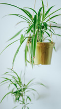 Spider Plant Aka, Airplane Pla...