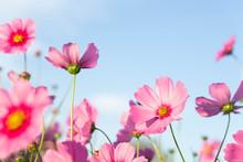 Closeup Beautiful Pink Cosmos ...