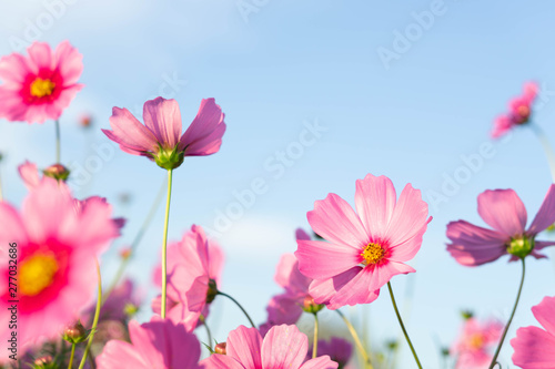 Fotografija Closeup beautiful pink cosmos flower in the field with sunlight at morning, sele