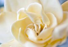 The Plant Flower White Gardenia Rose Close Up
