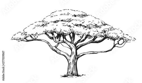 Photo Sketch of an acacia tree