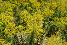 Honey Yellow Flowers Of Solida...