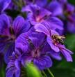 canvas print picture - Blume mit Biene