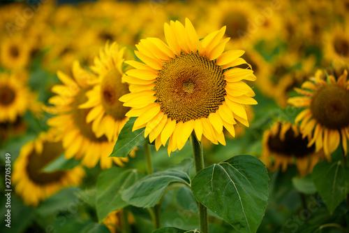 Poster Zonnebloem field of sunflowers